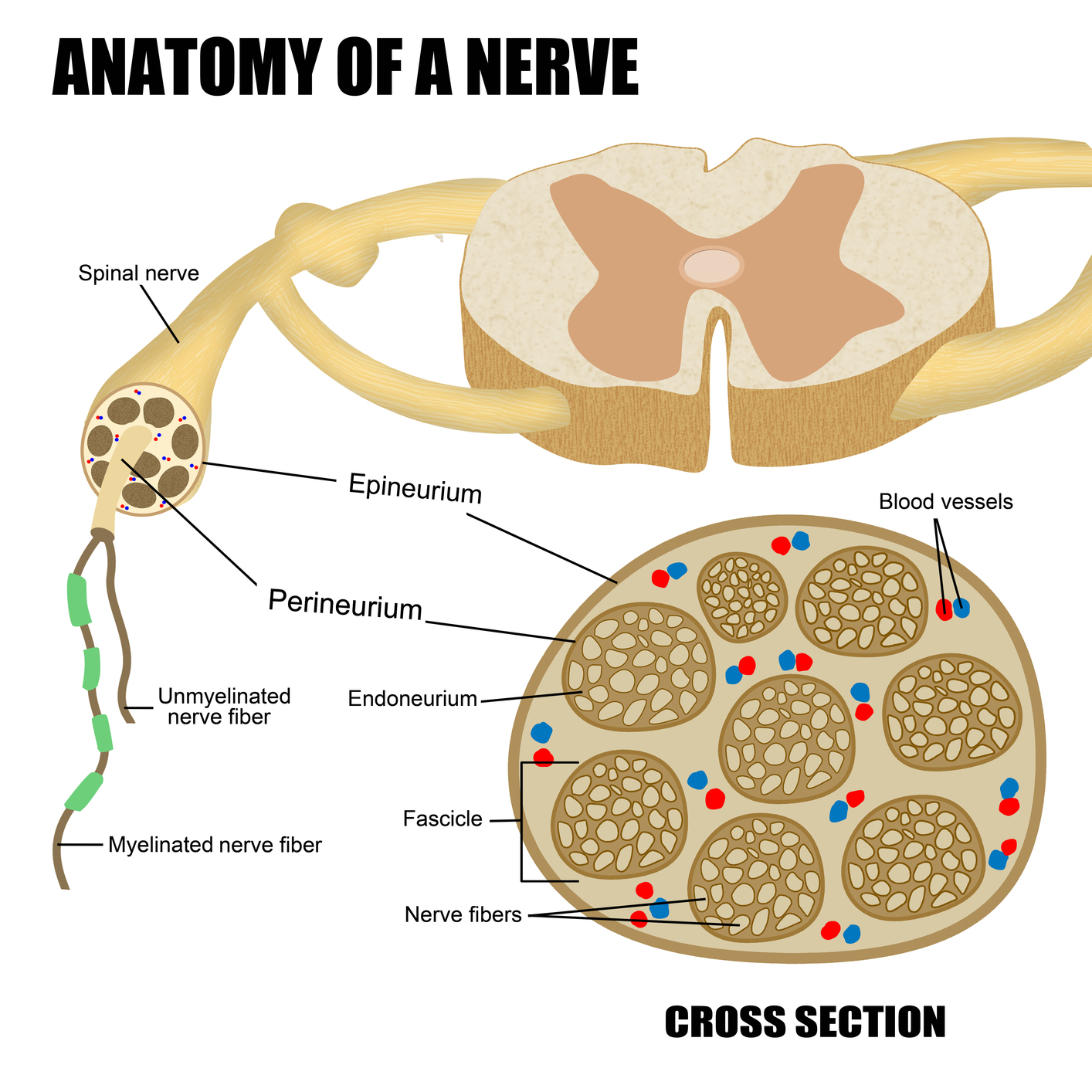Anatomz of nerves
